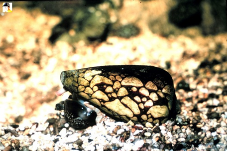 Marbled Cone Snail: